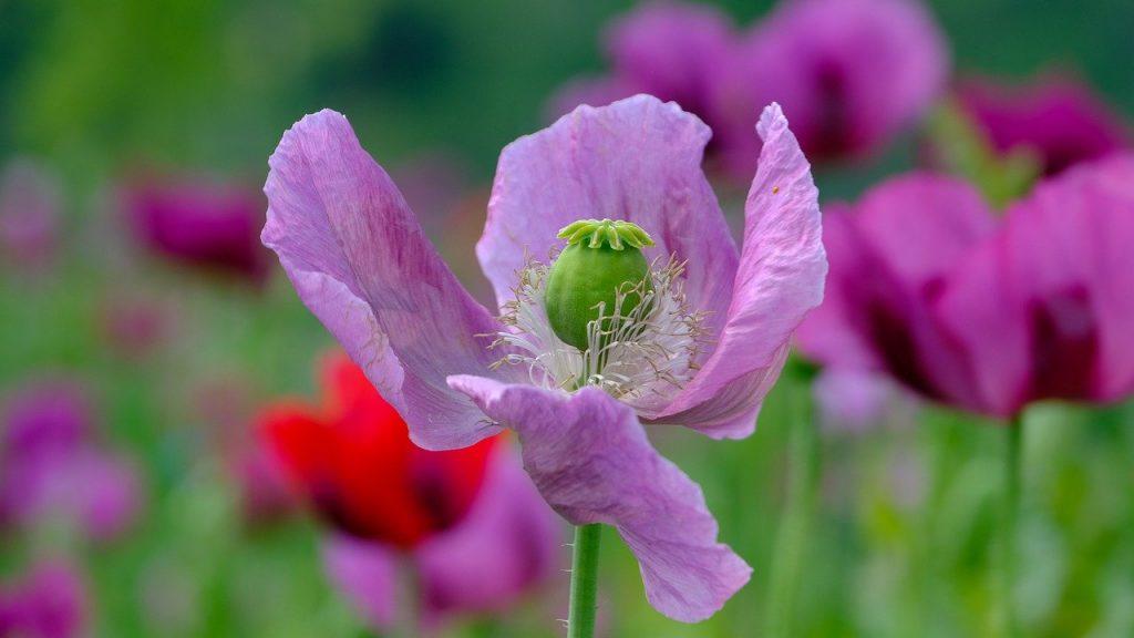 poppy, violet, poppy flower
